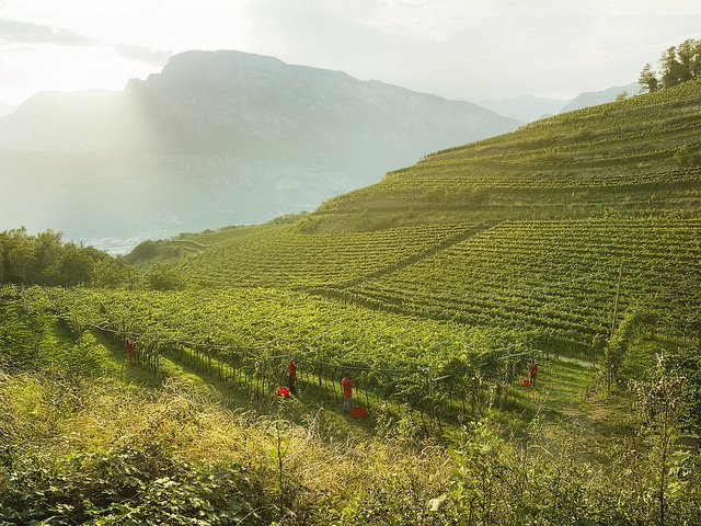 ferrari trento vineyard