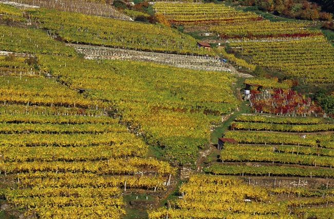wachau austria vineyards
