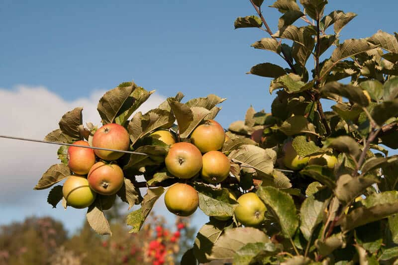 nw cider apples