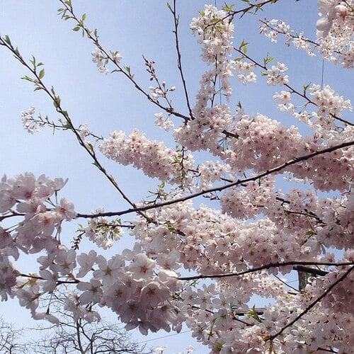 cherry blossoms seattle