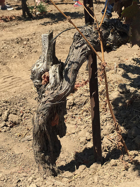 Cinsault Bechthold Vineyard Lodi