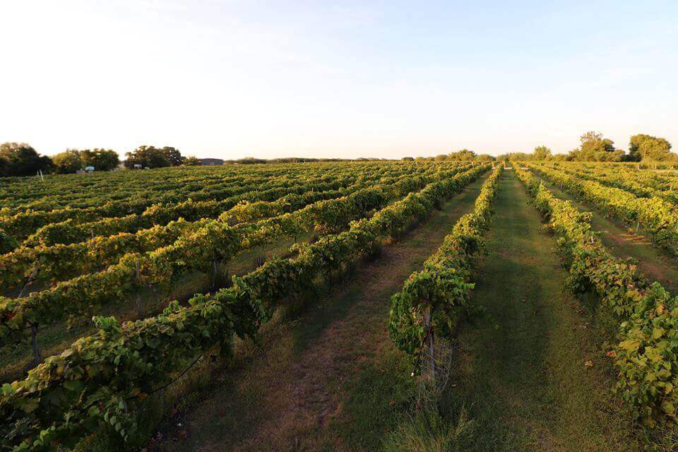 Vines at Messina Hof Winery, where Texas wine has been made since the 1970s.