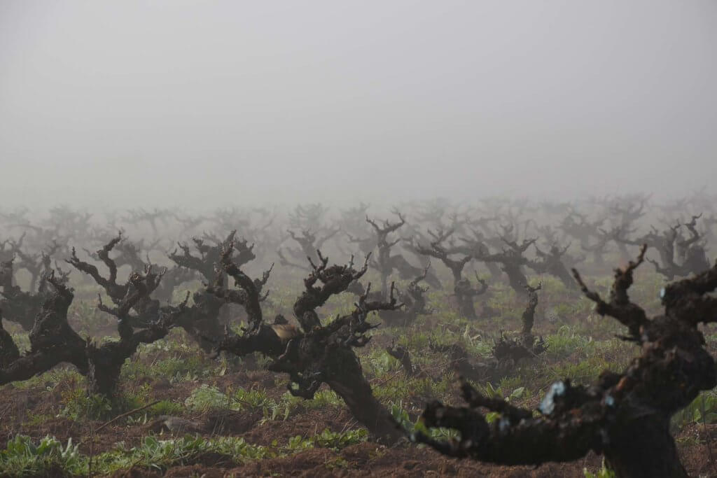 Spooky vines at Odfjell in Chile.