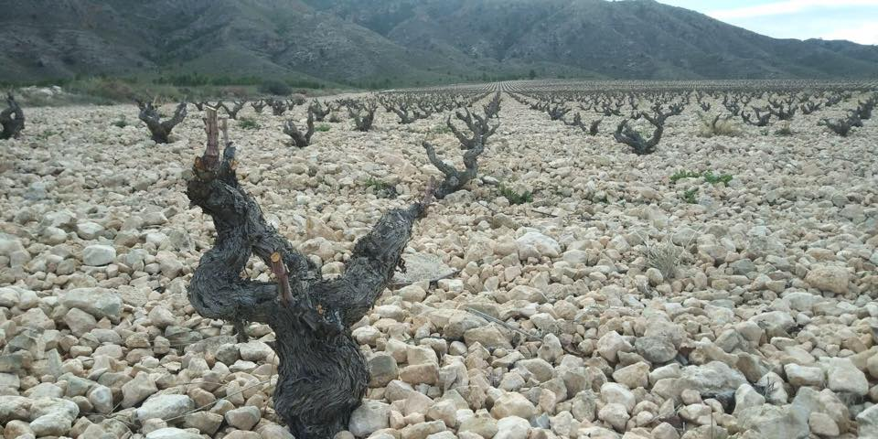 Old vines at Bodegas Luzón in Jumilla, Spain.