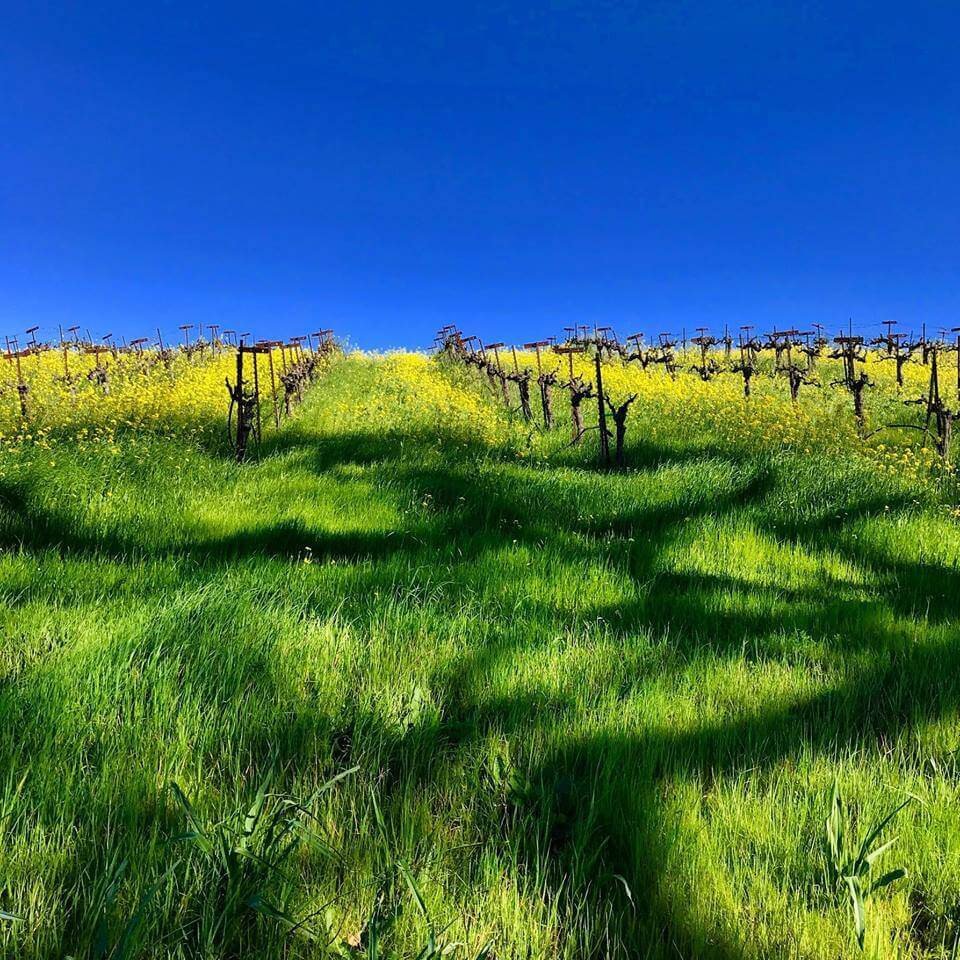 Vines at Sonoma's Dutton-Goldfield Winery.