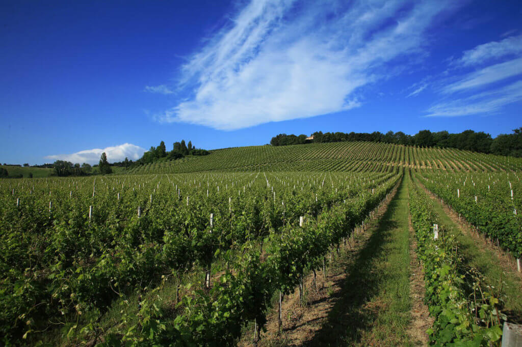 Vineyards in Montecarotto that grow grapes for Garofoli Verdicchio.